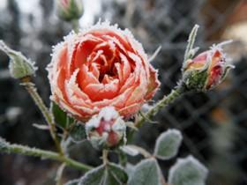 rose im winter