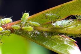 Rhododendren Schädlinge Krankheiten Vorbeugen Bekämpfen